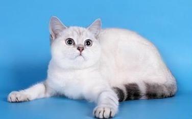 Британская колор-пойнт кошка