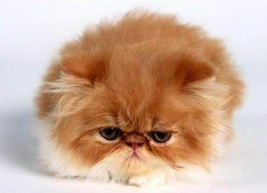 Британская вуалевая кошка
