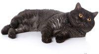 Британская дымчатая кошка