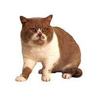 Британская двухцветная кошка