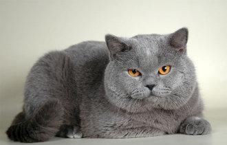 Сколько лет живут британские кошки