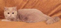 Британская кремово-голубая кошка