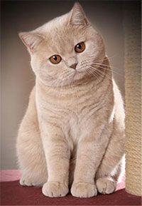 Британская кремовая кошка