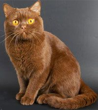 Британская шоколадная кошка