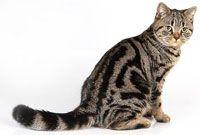 Британская кошка табби
