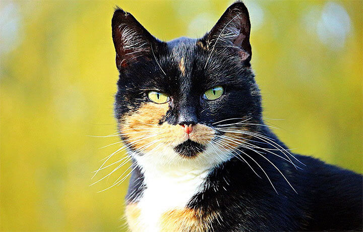 Трехцветная (триколор) кошка