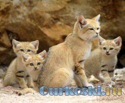 Пустынная кошка - песчаная кошка