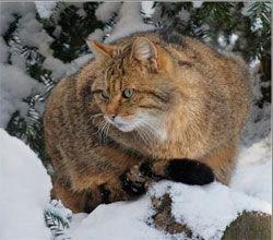Дикая лесная европейская кошка