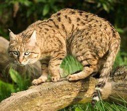 Индийский степной кот