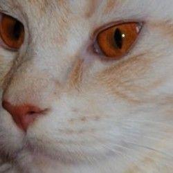 Цвет глаз у кошки