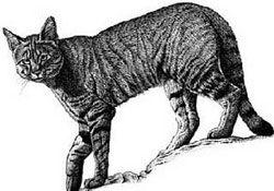 Ливийская Буланная кошка