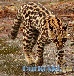 Онцилла - тигровая кошка