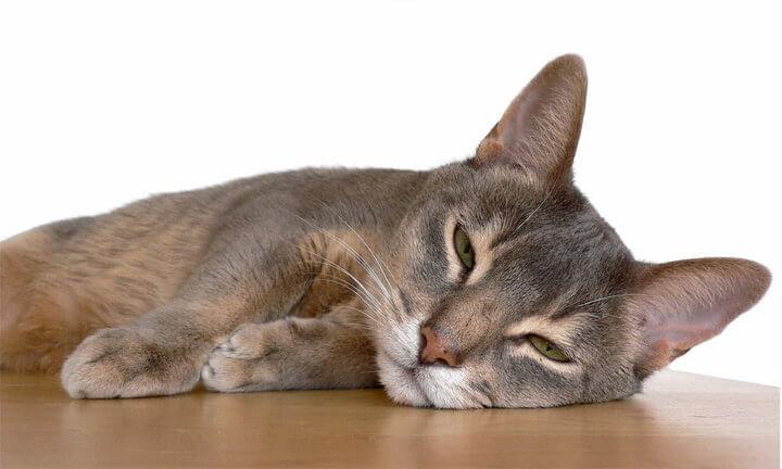 Содержание и уход абиссинской кошки
