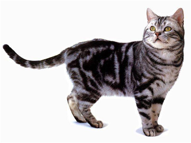 Американская короткошерстная-кошка