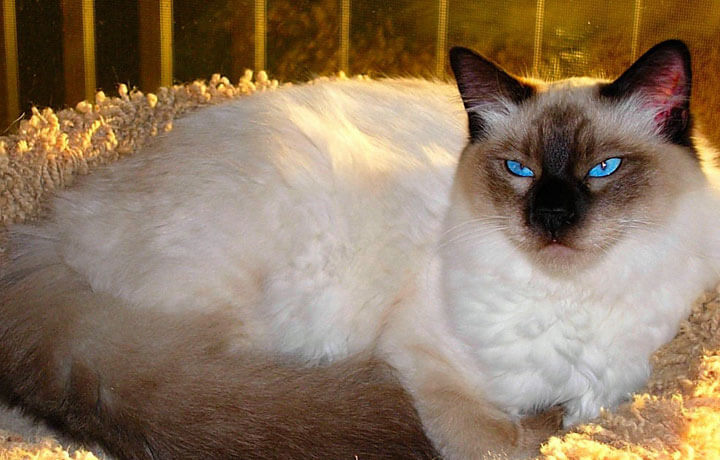 Балийская кошка - Балинез