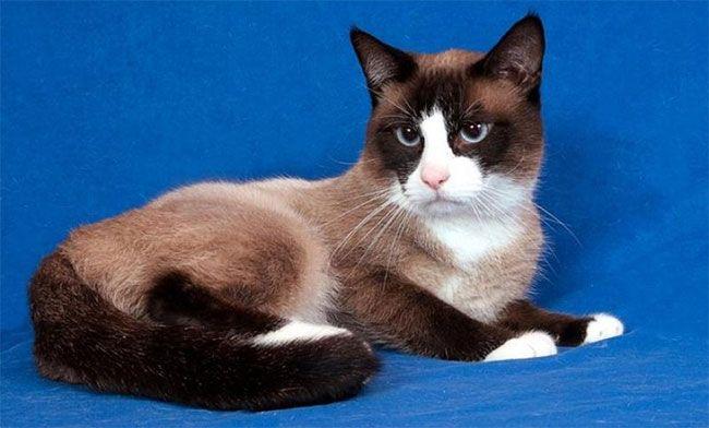 Порода кошки — Белоножка