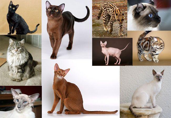 Классификация пород кошек