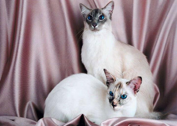 Стандарт балийской кошки