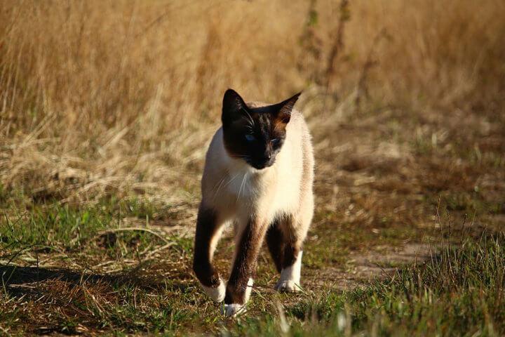 стандарт породы сиамской кошки