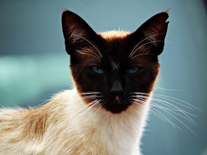 уши симской кошки