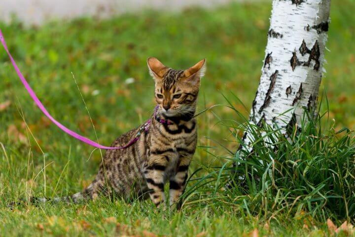 Прогулка с бенгальской кошкой