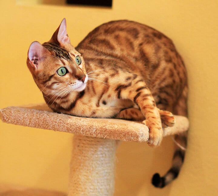 Лежак и когтеточка для бенгальской кошки