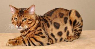 Бенгальская кошка — описание и характеристика породы