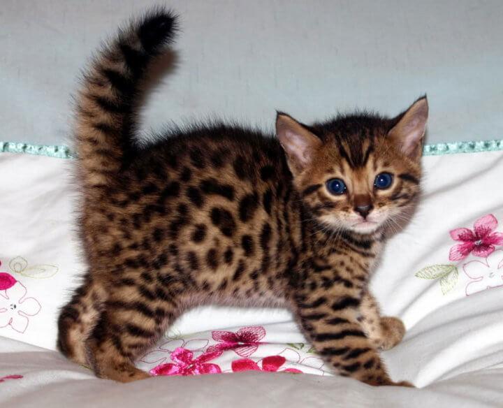 Бнгальский котенок