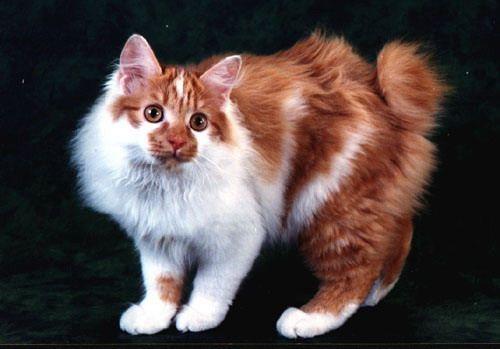Порода кошки — Японский бобтейл