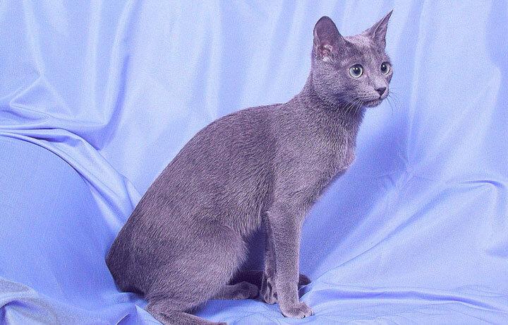 Грациозная голубая кошка