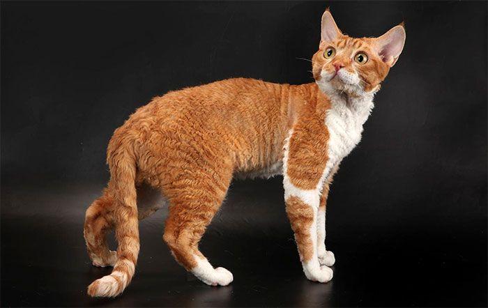 Кошки Девон Рекс