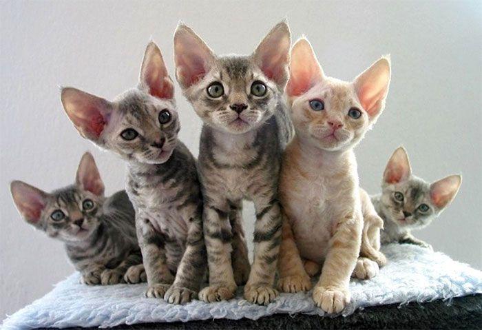 Порода кошки — Девон Рекс