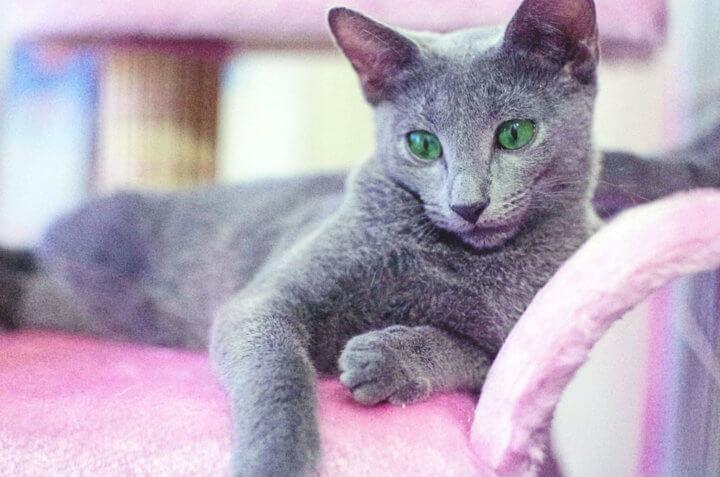 Как содержать русскую голубую кошку дома