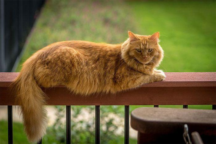 Мэнская енотовидная кошка