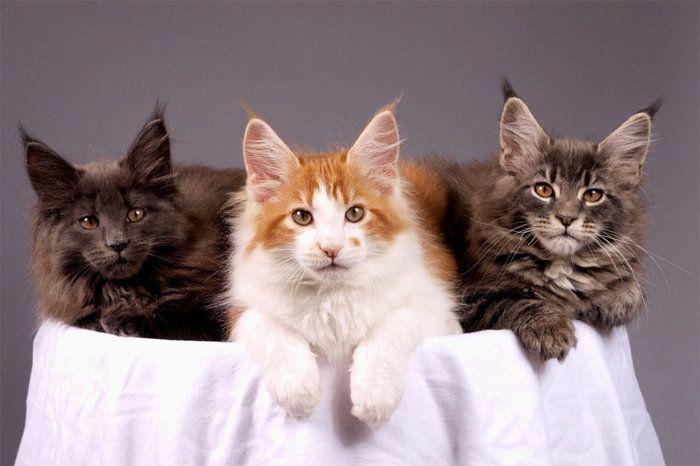 Кошки Мейн кун разных видов