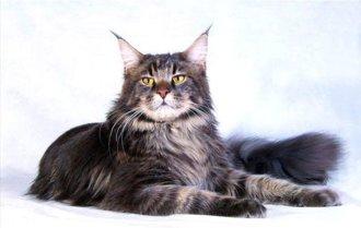 Порода кошек Мейн кун