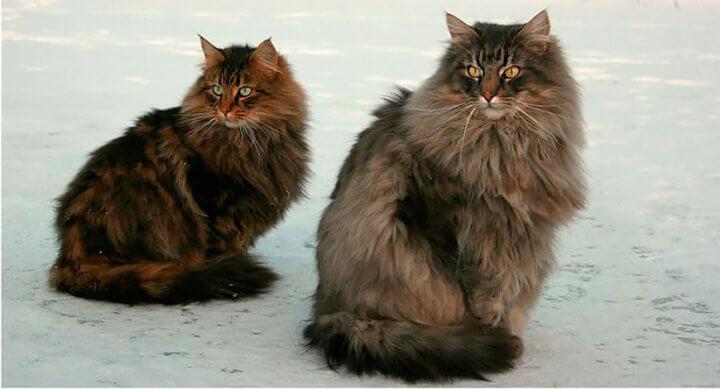 норвега - норвежская лесная кошка