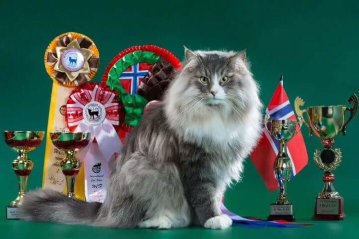 норвежская лесная кошка - шоу-стандарт