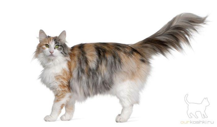 норвежская лесная кошка - описание породы