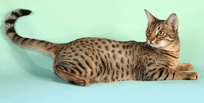 Порода кошки Осикет или оцикот
