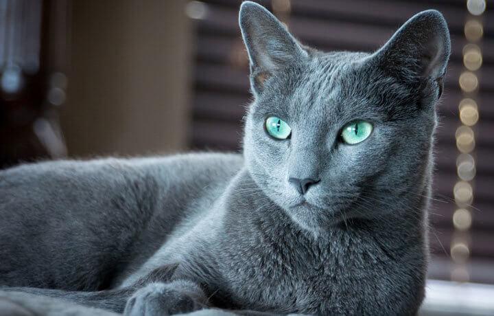 Зеленоглазая красавица - русская голубая порода кошки