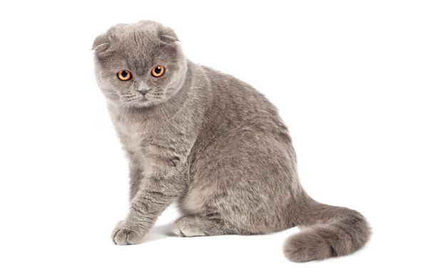 Кошки скоттиш фолд