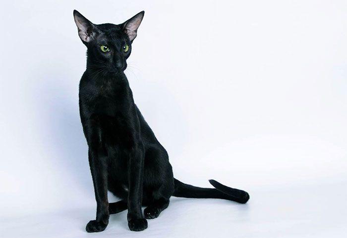 Восточная короткошерстная кошка