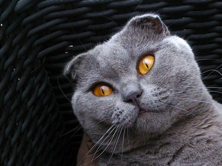 Характер шотландской вислоухой кошки