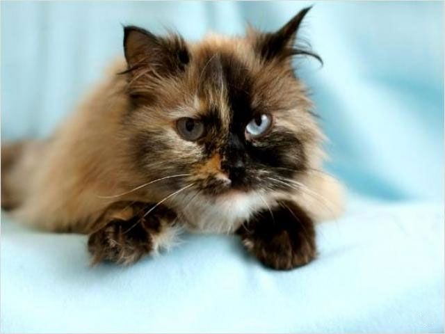 Черепаховый Пойнт - невская маскарадная кошка