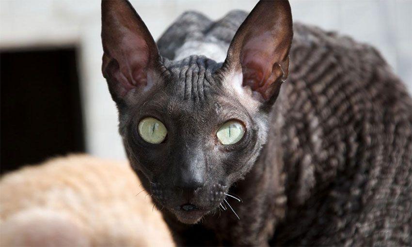 Порода кошки - Корниш рекс