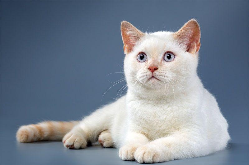 Крем-пойнт - порода кошек невская маскарадная