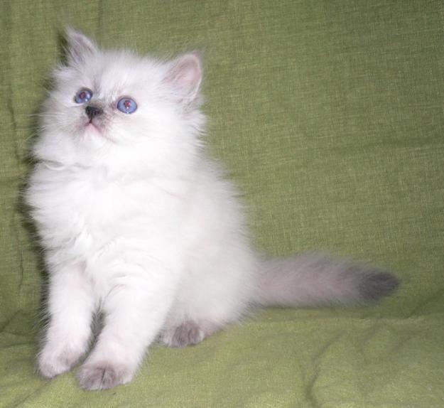 Блю-пойнт - невская маскарадная кошка