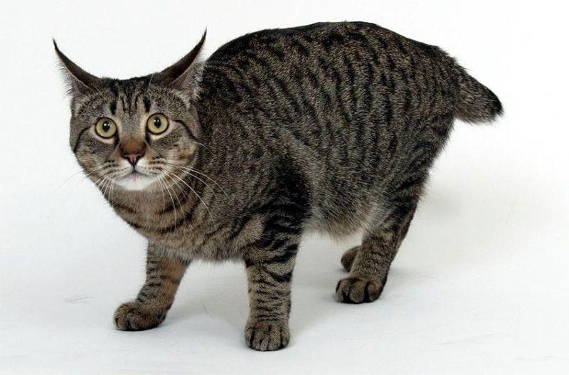 Порода кошки Пикси-боб