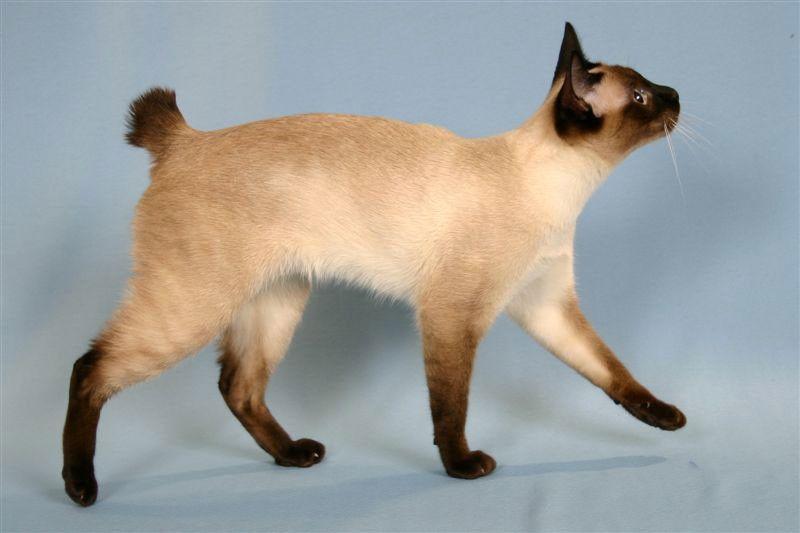 Порода кошки меконгский бобтейл